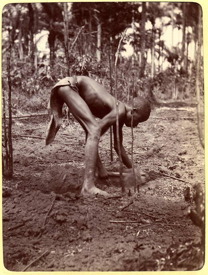 ibong planting yam Jan 1905 the trustees of the british museum
