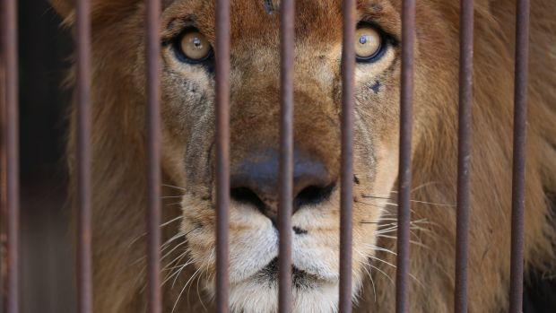 rescued_lion_moved_to_South_Africa