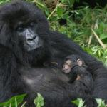 rwanda-gorilla-full.jpg gorillas acess,com